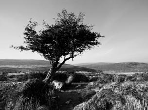 Hawthorn, Dartmoor