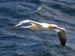 Gannet, North Atlantic