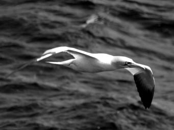 Gannet, black and white
