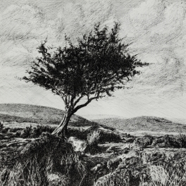 "Hawthorn, Dartmoor, pen sketch, 13.5"" x 13.5"". Original SOLD, prints available, please email me for details"